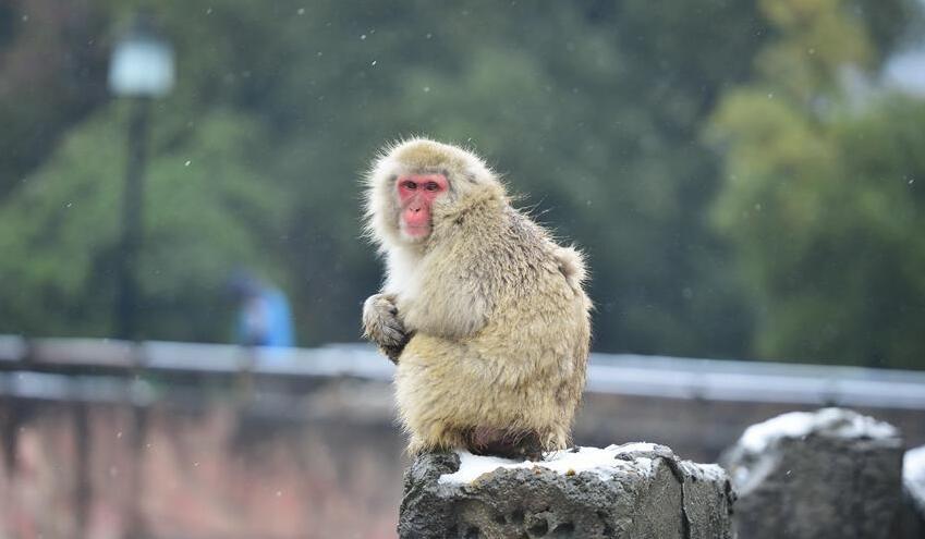 1月22日,在南昌市动物园里,一只日本雪猴端坐在雪中.