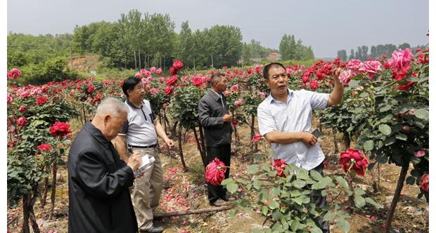 随县万和镇尖峰村村民杨海国种植月季新品种